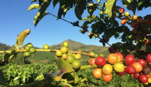 スタバのコーヒー豆の加工法!精製方法と風味の違いを元店員が解説